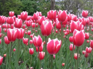 Tulips of all colors capture the spirit of May!